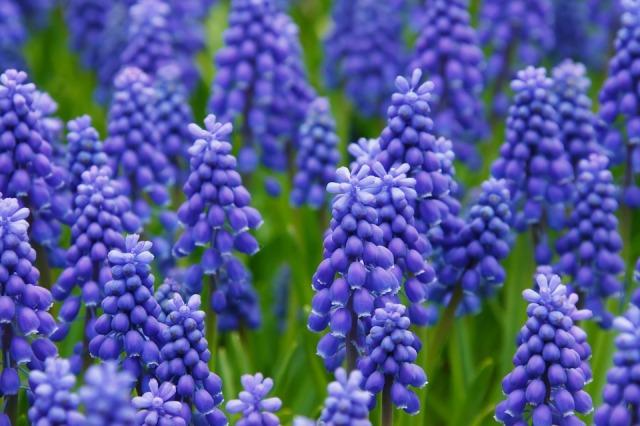 hyacinth-21687_960_720